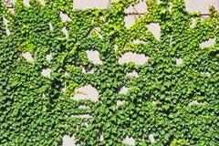 Planta do Hedera na parede de pedra Imagem de Stock Royalty Free