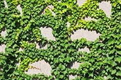 Planta do Hedera na parede de pedra Imagens de Stock