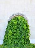 Planta do Hedera na parede de pedra Fotos de Stock