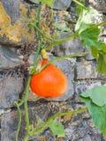 Planta do Hokkaido com fruto da abóbora na frente de uma parede rochoso Imagens de Stock