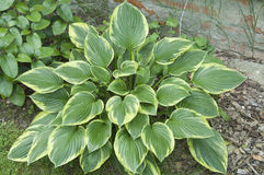 Planta do Hosta foto de stock royalty free