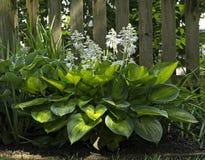 Planta do Hosta com folhas e Lily Stalks Variegated foto de stock