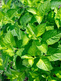 Planta do Hydrangea Imagens de Stock Royalty Free