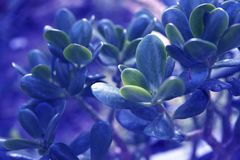 A planta do jade deixa o fundo colorido no azul imagem de stock