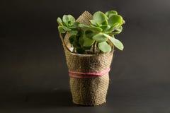 Planta do jade do ovata do Crassula foto de stock royalty free