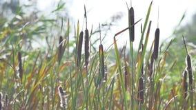Planta do junco em uma beira do lago do autumnl vídeos de arquivo