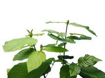 Planta do kratom do speciosa de Mitragyna fotos de stock