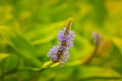 Planta do lago Imagem de Stock
