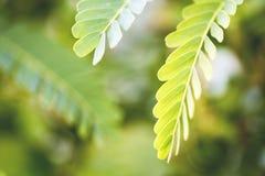 Planta do Leucaena Imagens de Stock Royalty Free