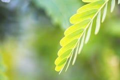 Planta do Leucaena Fotografia de Stock