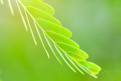 Planta do Leucaena Imagens de Stock