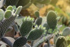 A planta do leucotricha do Opuntia do cacto com espinhas fecha-se acima foto de stock royalty free