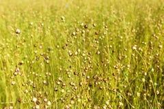 Planta do linho antes da colheita Fotos de Stock Royalty Free