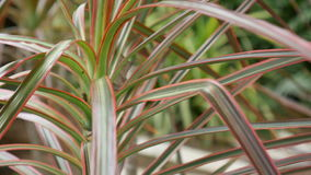 Planta do marginata do Dracaena do close up filme