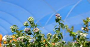Planta do mirtilo em uma exploração agrícola 4k do mirtilo video estoque