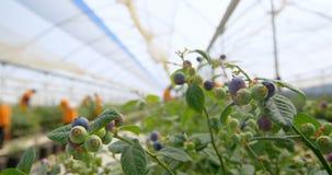 Planta do mirtilo em uma exploração agrícola 4k do mirtilo filme