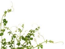 Planta do montanhista Imagens de Stock Royalty Free