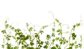 Planta do montanhista Fotografia de Stock