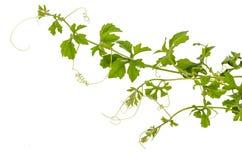 Planta do montanhista Imagem de Stock