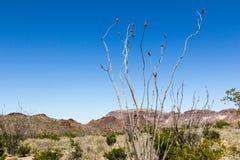 Planta do Ocotillo Imagem de Stock Royalty Free