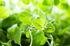 Planta do Oregano Fotografia de Stock Royalty Free