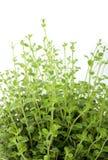 Planta do Oregano Foto de Stock