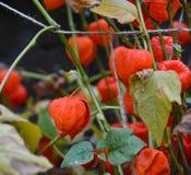 Planta do outono do Physalis imagem de stock