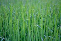 Planta do papel de parede do arroz Imagens de Stock Royalty Free