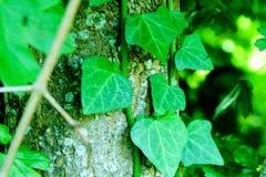 Planta do parasita na árvore Imagem de Stock