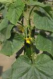 Planta do pepino Fotos de Stock