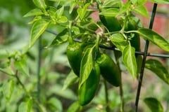 Planta do pimento do Jalapeno Fotos de Stock Royalty Free