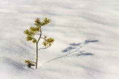 Planta do pinho na neve Imagens de Stock Royalty Free