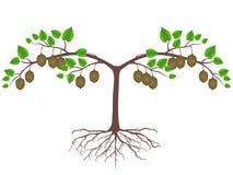 Planta do quivi com raizes e frutos em um fundo branco ilustração royalty free
