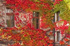 Planta do rastejamento Fotografia de Stock