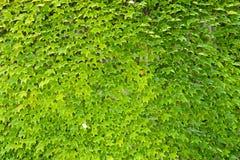 Planta do rastejamento Imagem de Stock