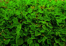 A planta do rastejamento Fotos de Stock Royalty Free