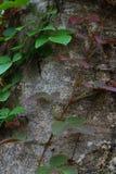 Planta do rastejamento na árvore Fotografia de Stock