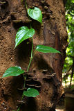 Planta do rastejamento na árvore Fotografia de Stock Royalty Free