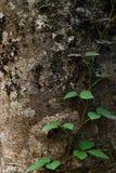 Planta do rastejamento na árvore Fotos de Stock Royalty Free