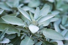 Planta do sábio, erva aromática Foto de Stock