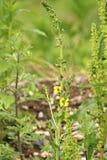 planta do selvagem Fotografia de Stock