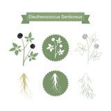 Planta do senticosus de Eleutherococcus no branco Fotografia de Stock Royalty Free