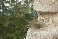 Planta do solitário Imagem de Stock