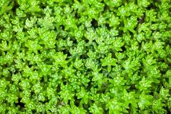 Planta do stonecrop de Sedum imagem de stock royalty free