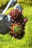 Planta do Succulent Fotografia de Stock