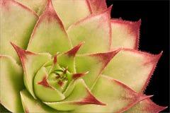Planta do Succulent Imagens de Stock Royalty Free