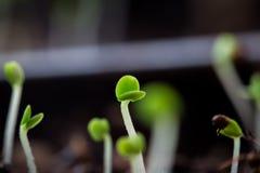 A planta do tomilho brota o macro Foto de Stock