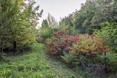Planta do typhina do Rhus imagens de stock royalty free