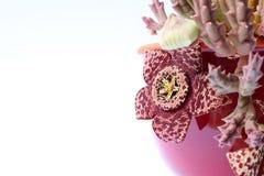 Planta do variegata do Stapelia com flores manchadas foto de stock royalty free