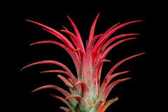 Planta do vermelho do ionantha do Tillandsia Fotografia de Stock